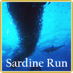 Sardine run -the greatest shoal on Earth.