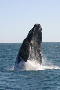 Southern right whales breach frequently, possibly associated with communcation or for removing parasites or dead skin.