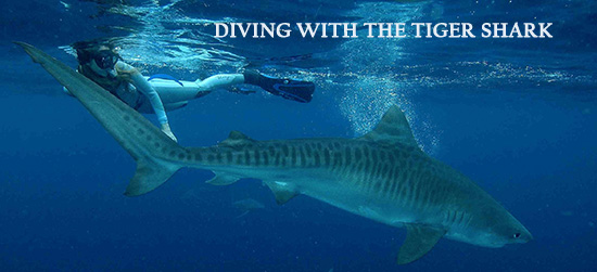 Diving with the tiger shark in Umkomaas, South Africa