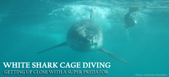 Shark Cage Diving with Great White Sharks Cape Town South Africa