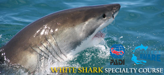 PADI Great White Shark Awareness Specialty Diver Course South Africa