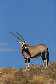 The gemsbok, also called oryx (Oryx gazella) is a common sight in Namibia. With its 240 kg (bull), 210 kg (cow), average horn length of 85 cm and beautiful markings this animal makes for nice photo opportunities.