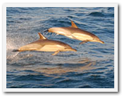 Dolphins at the sardine run photo South Africa