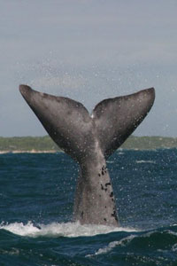 Southern right whales migrate to the South African waters to spend June to November here.